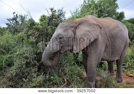 Elephant Eating From The Bushes