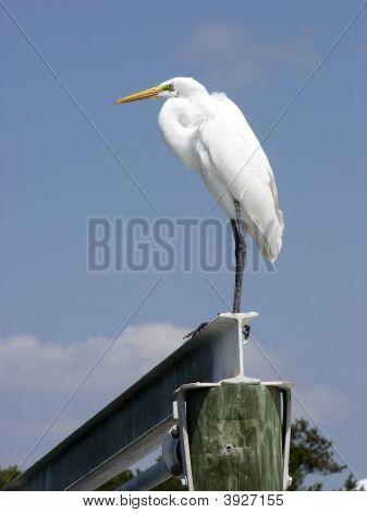 Great American Egret On Beam