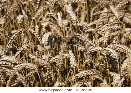 Field Of Wheat Cereal Crop