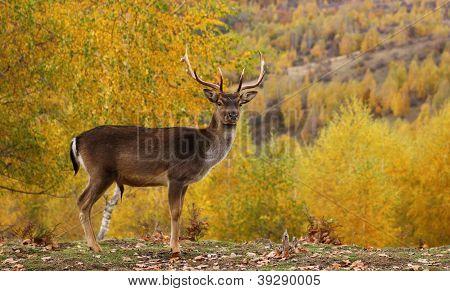Fallow Deer Buck In A Glade