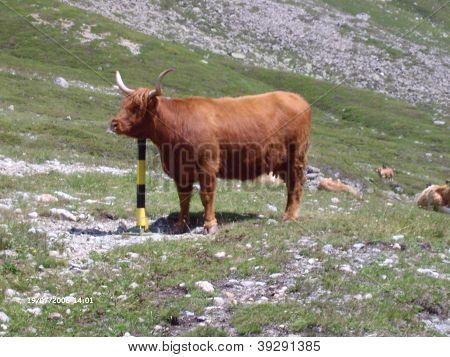 alpen Kuh