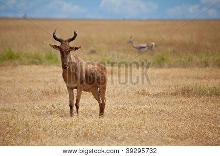 Cotes Hartebeest