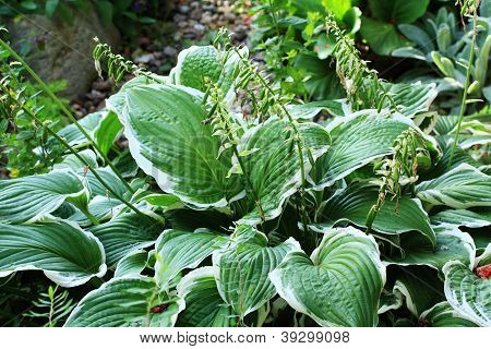 Green Hosta Close Up