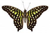 Постер, плакат: Бабочка видов Graphium Агамемнона» хвост Джей»
