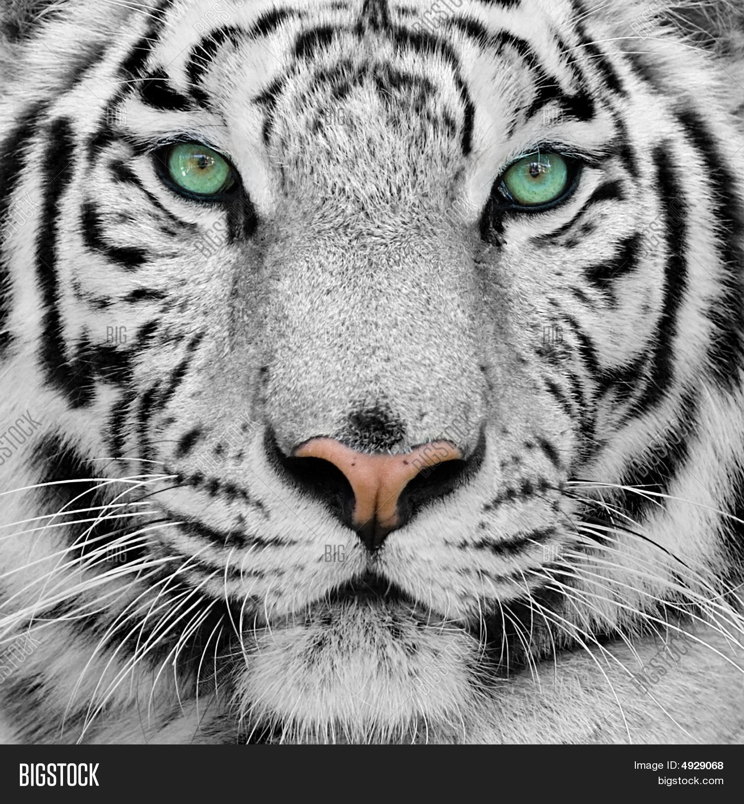 White Tiger Image & Photo | Bigstock