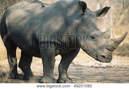Black Rhinoceros (Ceratotherium Simum)