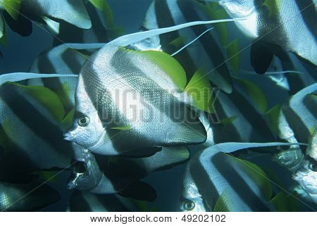 Mozambique Indian Ocean school of coachman fish (Heniochus acuminatus) close-up