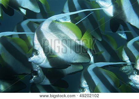 Mozambique Indian Ocean school of coachman fish (Heniochus acuminatus) close-up