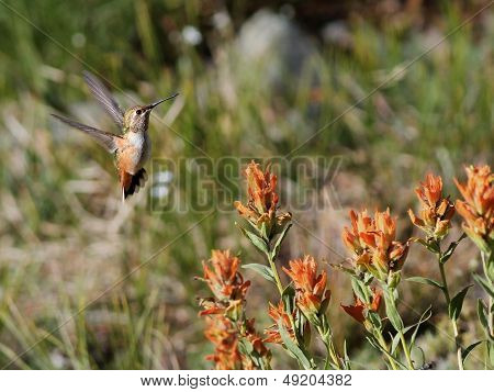 Rufous Hummingbird with Wildflowers