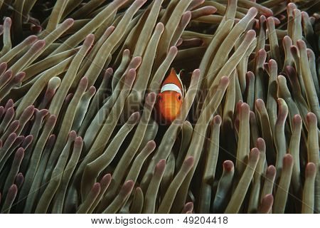 Raja Ampat Indonesia Pacific Ocean false clown anemonefish (Amphiprion ocellaris) hiding in magnificent sea anemone (Heteractis magnifica)