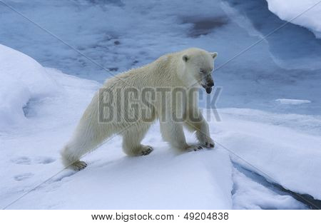 Norway Spitsbergen Polar Bear in snow