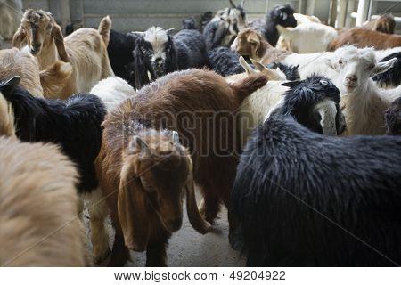 Dubai UAE Goats for sale at Shindagha Market in Bur Dubai