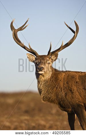 Red Deer animal portrait
