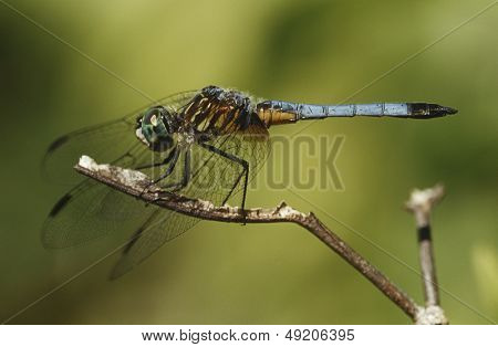 Close up of dragonfly on a twig