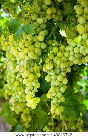 Ripening white grapes at vineyard