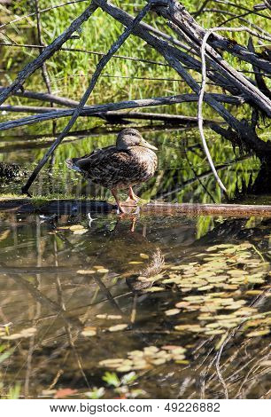 Portraiture Of Duck On Log.