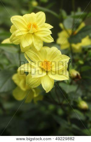 A Pair Of Beautiful Yellow Hybrid Dahlia Flowers