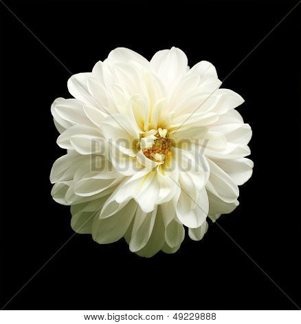 Beautiful White Dahlia Flower On Black Background