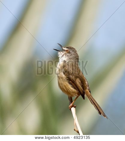 Tawnyflanked Prinia Singing