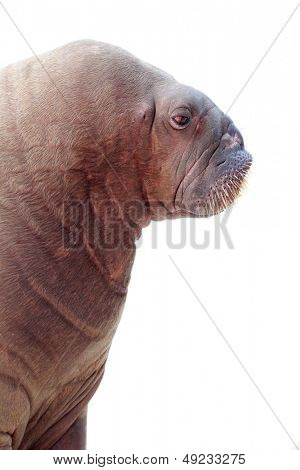 walrus portrait isolated over white