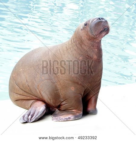 walrus portrait on water background