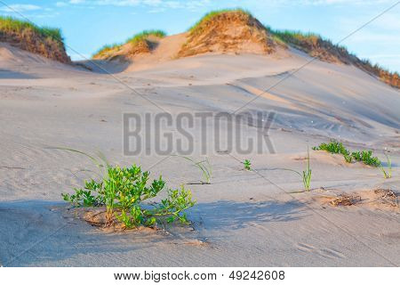 Vegetation on sand dunes on Prince Edward Island's north shore.