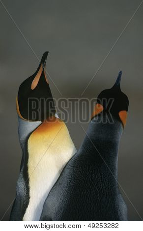 UK South Georgia Island two King Penguins doing mating dance close up