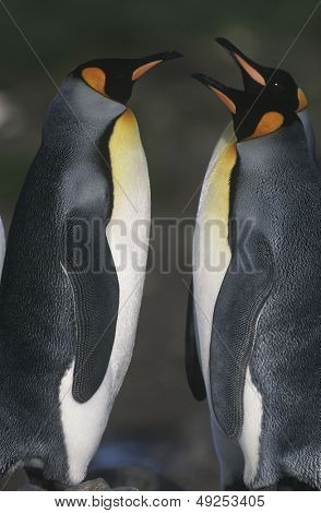 UK South Georgia Island two King Penguins opposite each other side view