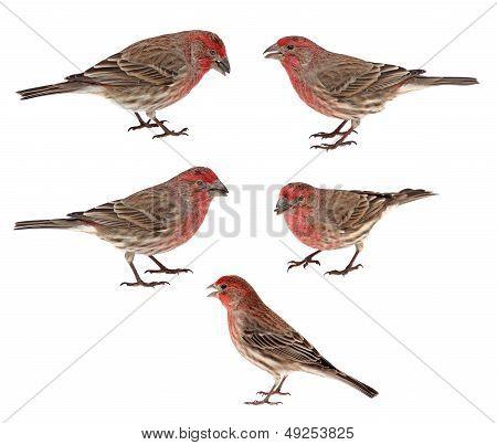 House Finches, Carpodacus Mexicanus