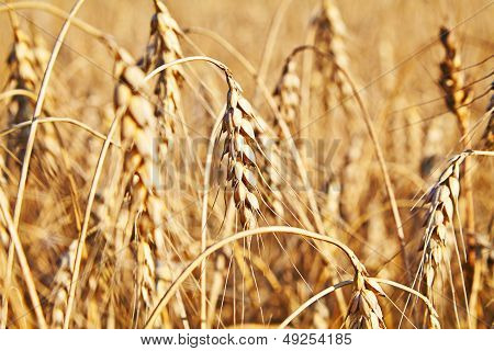 Wheat. Selective Focus