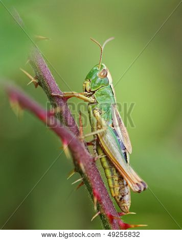 The Meadow Grasshopper (Chorthippus parallelus)