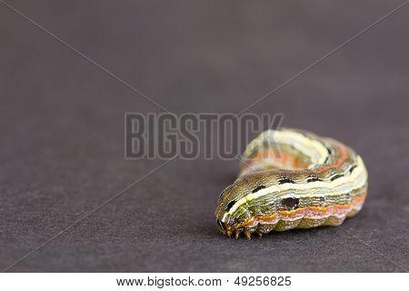 Larva Close Up, NC