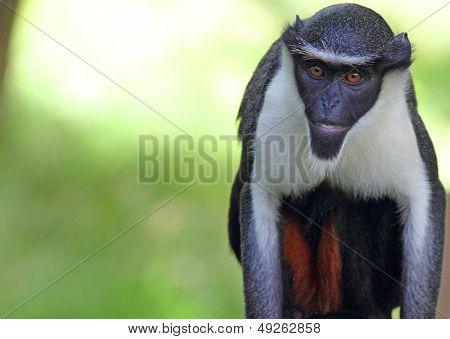 Diana Monkey (Ceropithecus diana)