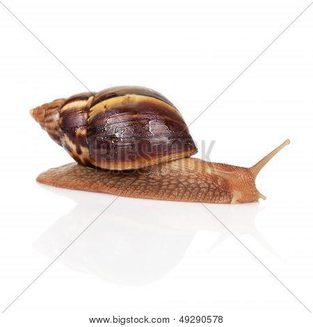 Big Brown Snail Crawls On White Background, Closeup Photo