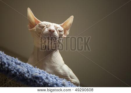 White Don Sphinx Cat Sleeps