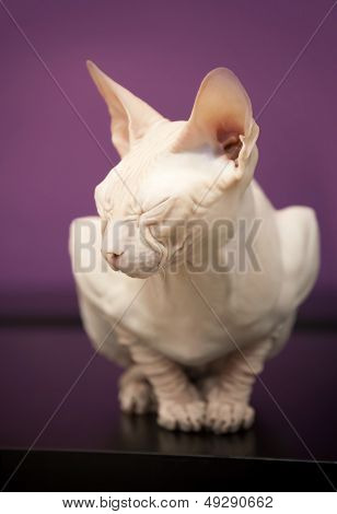 White Don Sphinx Cat Slumbers On The Table