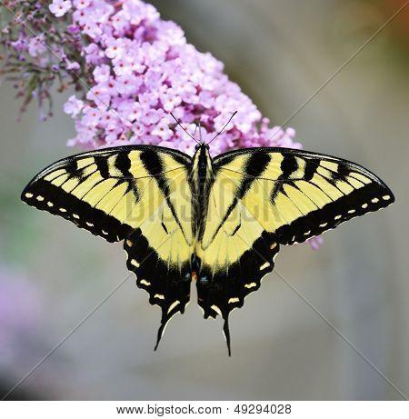 Papilio glaucus Schmetterling auf einem lila Schmetterling-Busch
