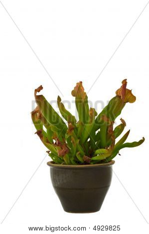 Isolated Pitcher Plant
