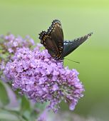 picture of butterfly-bush  - Red - JPG