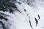 stock photo of upstream  - Group of Salmon jumping upstream in river - JPG