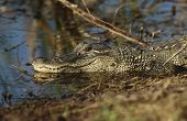 picture of alligator  - Alligator  - JPG