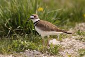 picture of killdeer  - A Killdeer standing next to the road - JPG
