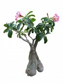 ficus bonsai potted plants