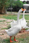 stock photo of game-cock  - Goose at a farm - JPG