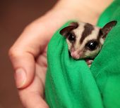 stock photo of possum  - Little sugar glider  - JPG