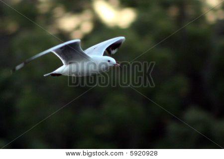 Flying silver gull