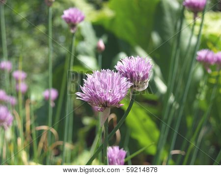 Alium purple onion flower on a green background. summer blooms