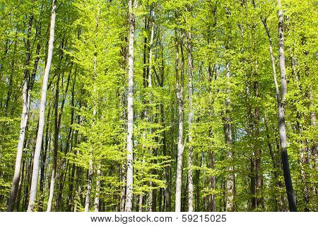 Spring Wood Of Beech Trees