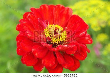 Dahlia rojo
