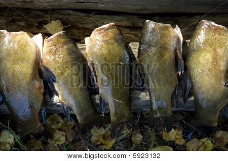Fish Body